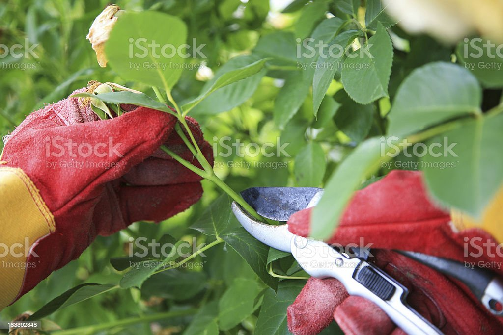Cutting the rose bushes royalty-free stock photo