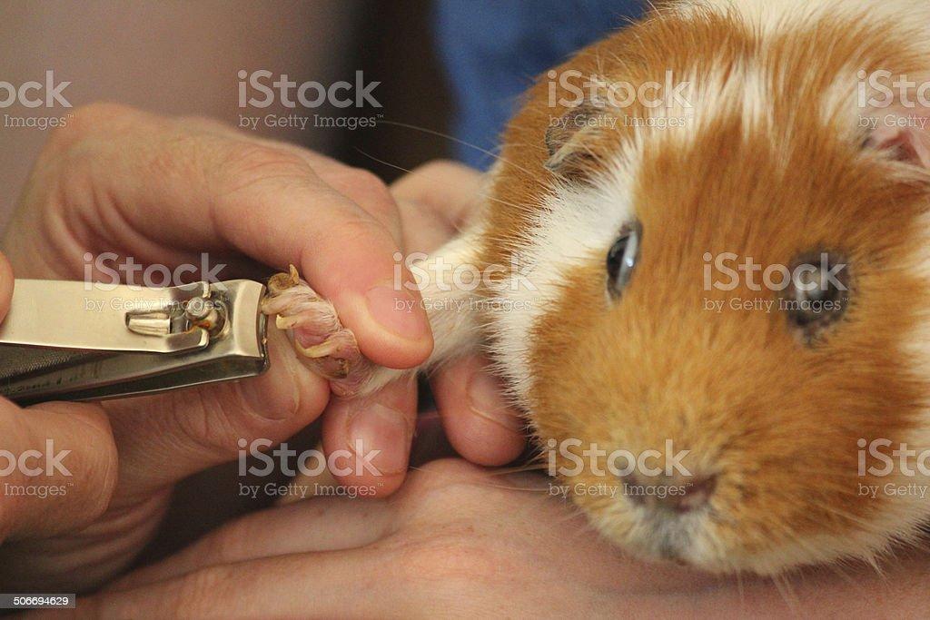 Cutting toenails on short-haired guinea pig / short-hair cavy, ginger, white stock photo