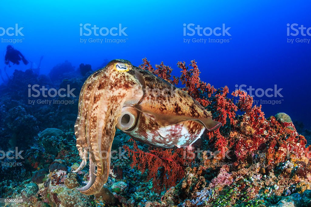 Cuttlefish and diver stock photo