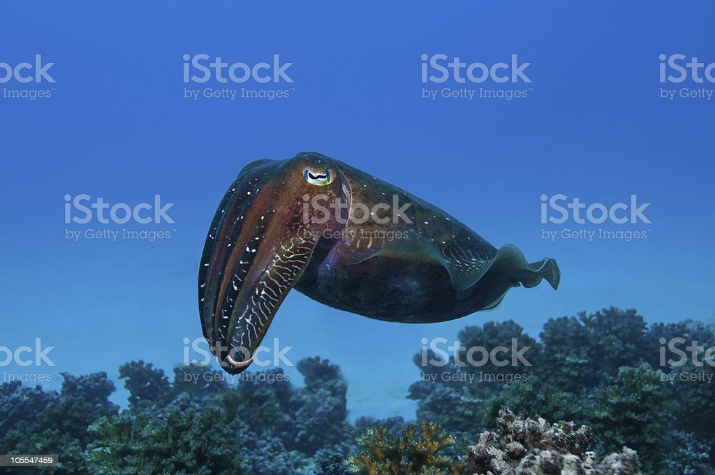Cuttlefish At Barrier Reef stock photo