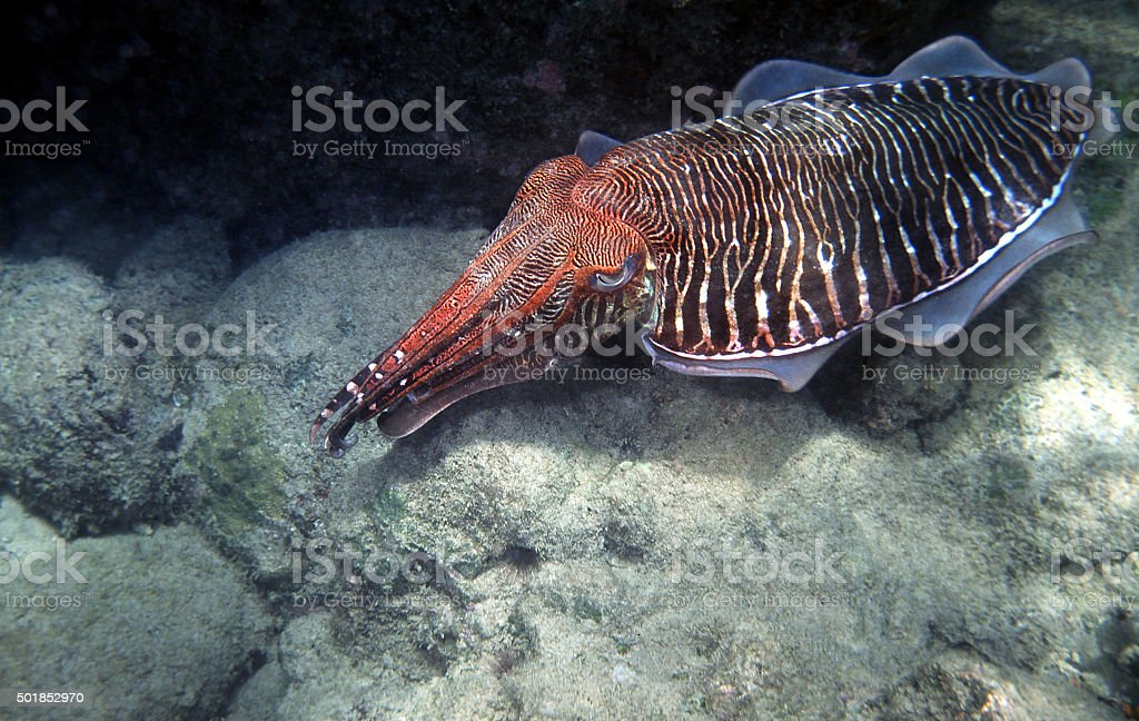 Cuttlefish big male at the Andaman Sea outside Thailand. stock photo