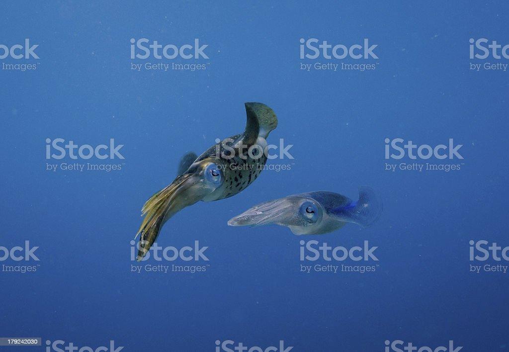 Cuttlefish couple stock photo