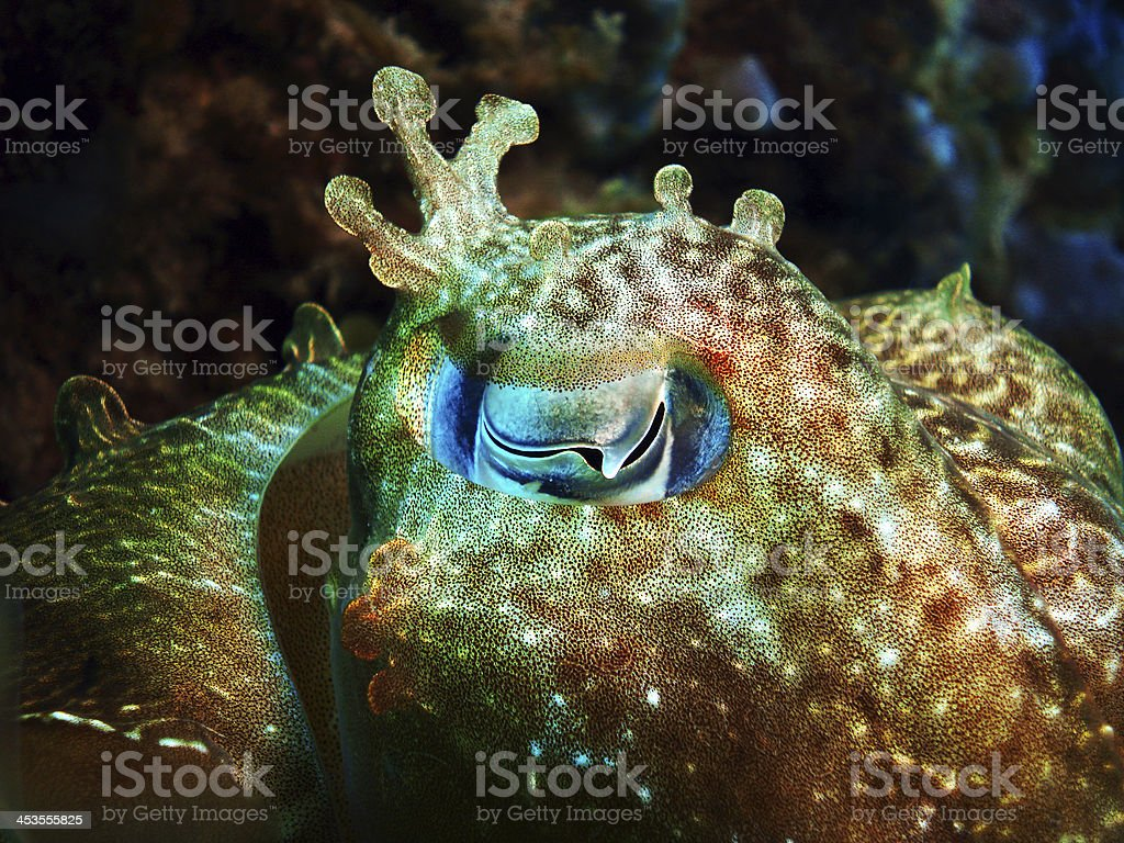 Cuttlefish eye stock photo