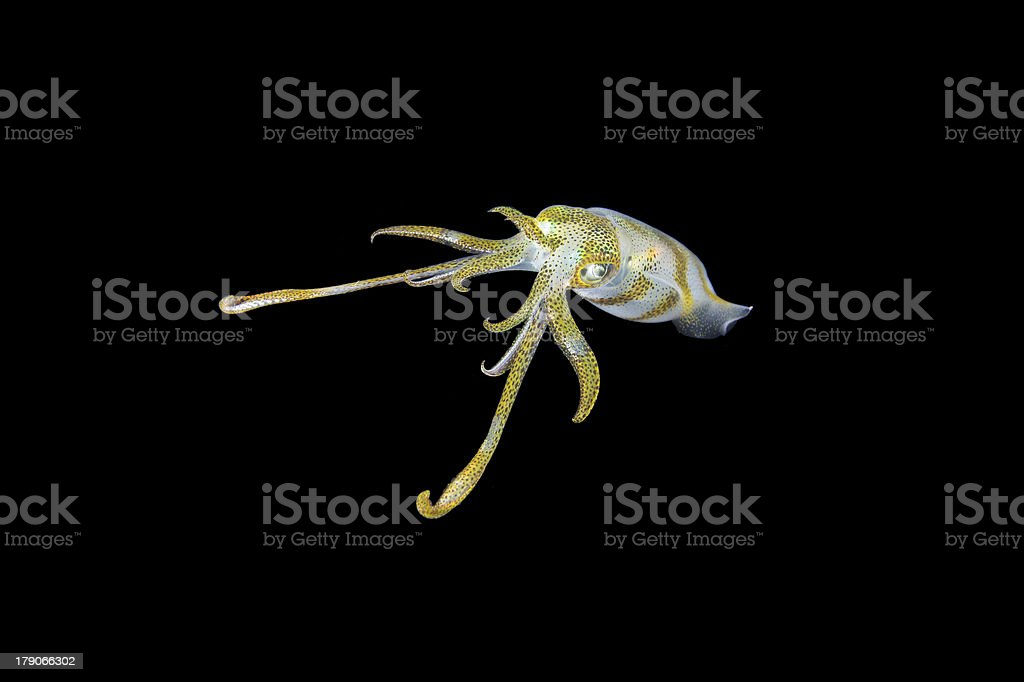 Cuttlefish in black royalty-free stock photo