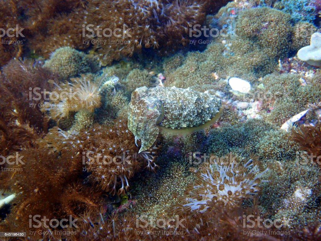 cuttlefish near malapascua stock photo