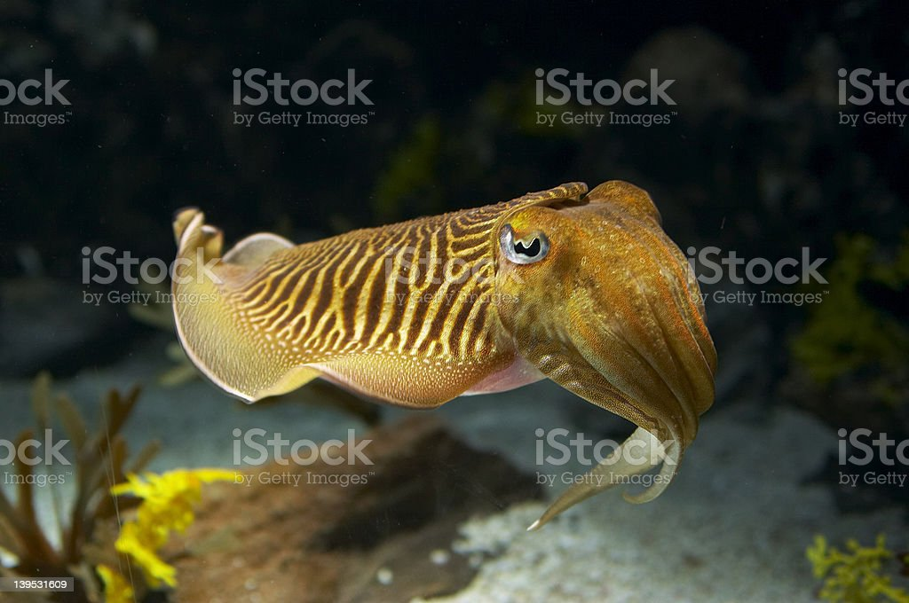Cuttlefish royalty-free stock photo