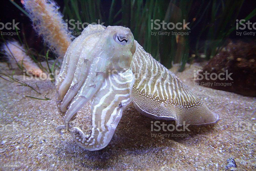 Cuttlefish stock photo