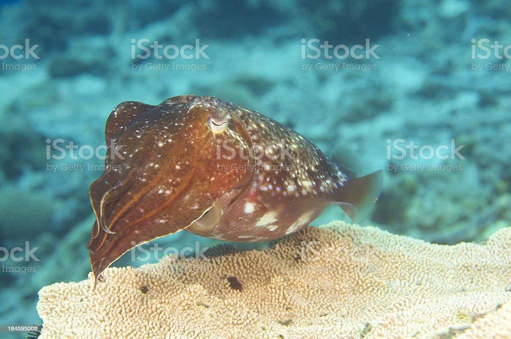 Cuttlefish Sepia latimanus stock photo