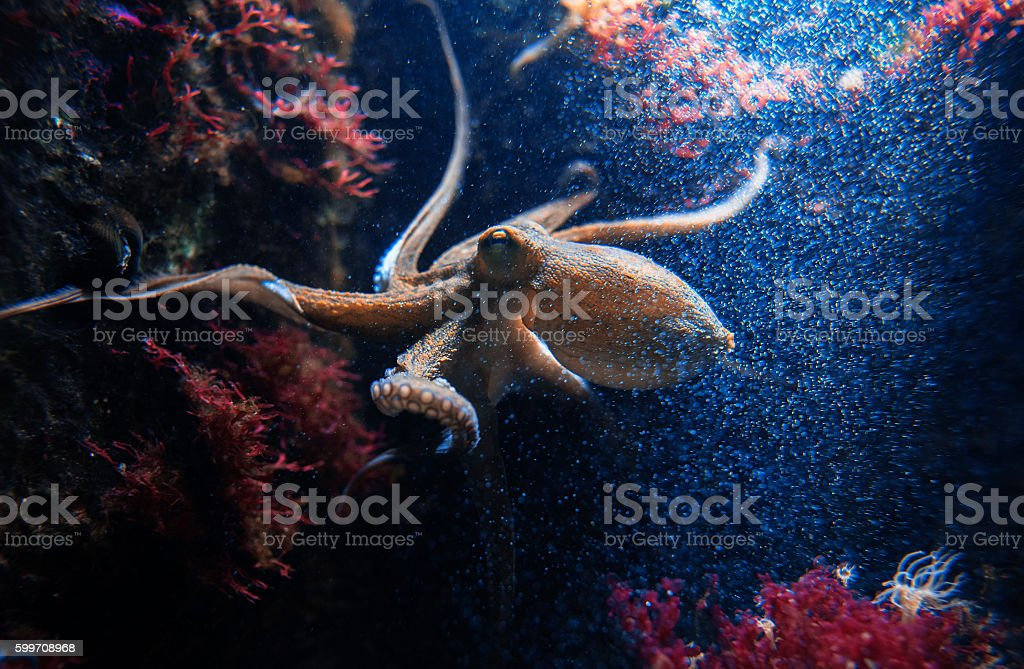 cuttlefish underwater stock photo