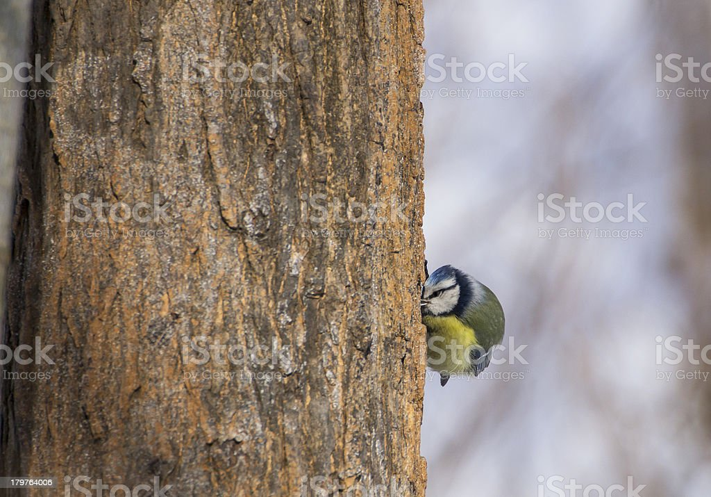 Cyanistes caeruleus on tree royalty-free stock photo