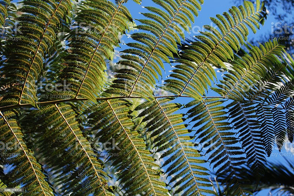 Cyathea dealbata leaf on blue sky background. stock photo