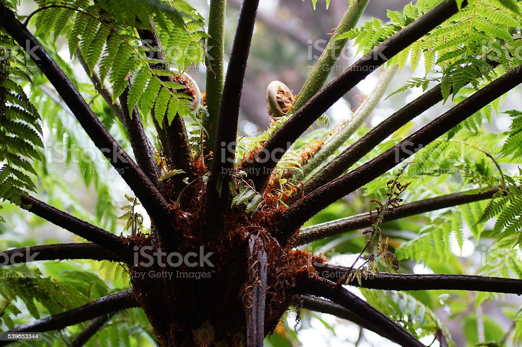 Cyatheales,  the tree fern stock photo