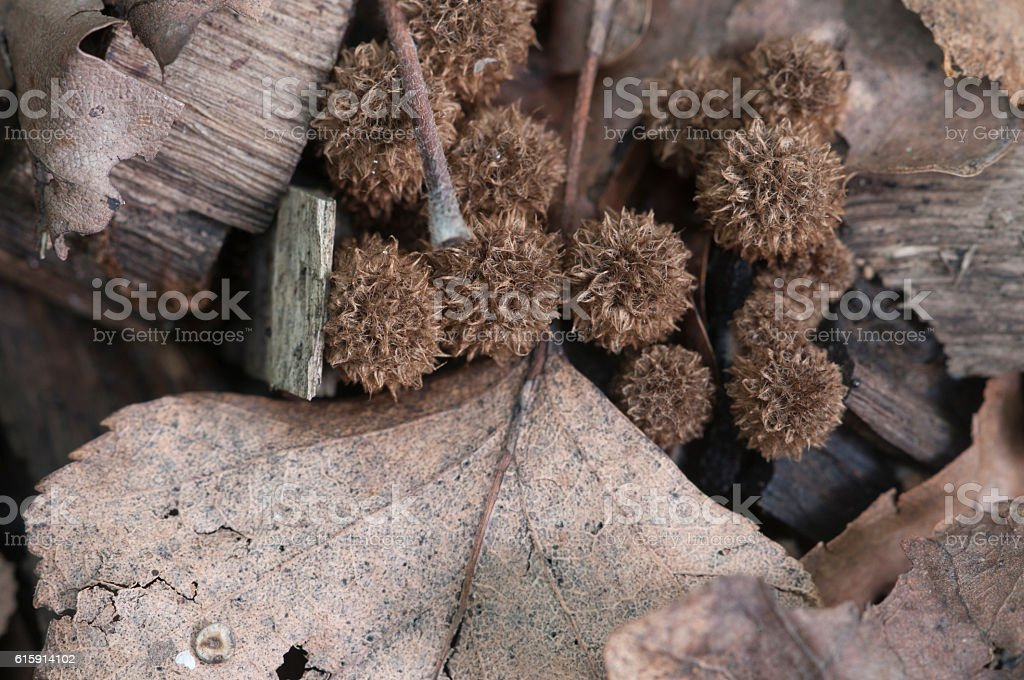 Cyathus striatus stock photo