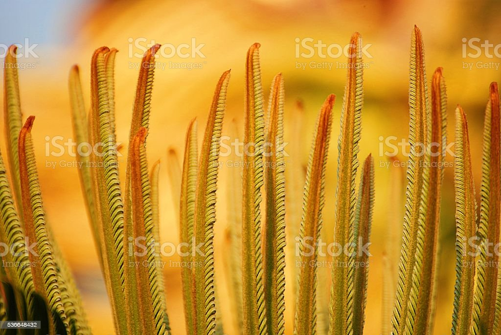 Cycads elite guard from rain stock photo