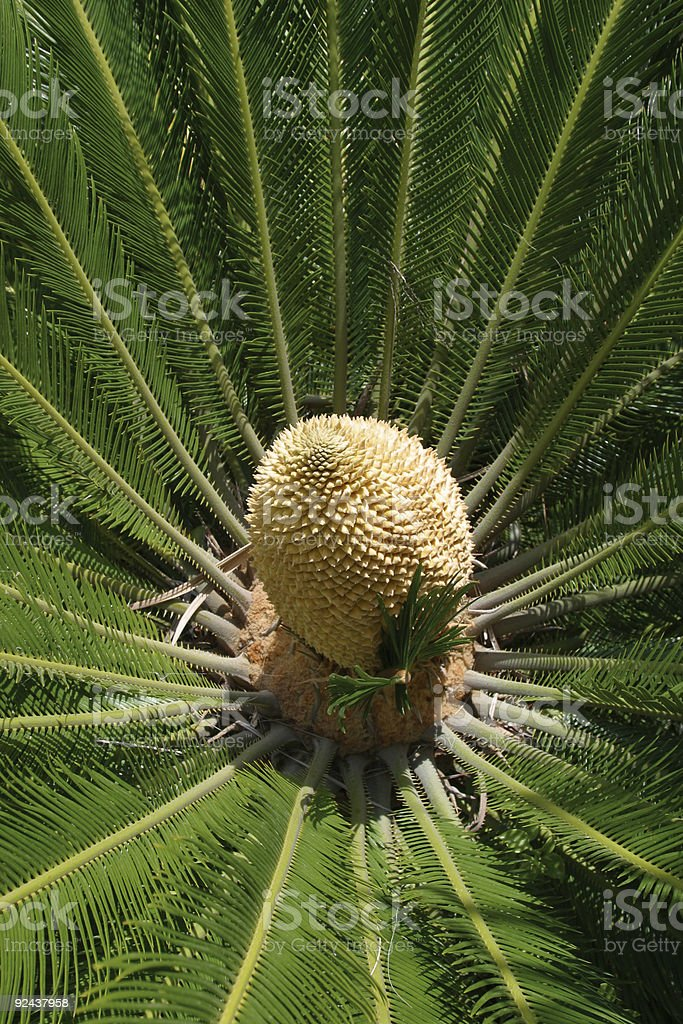 cycas' flower royalty-free stock photo