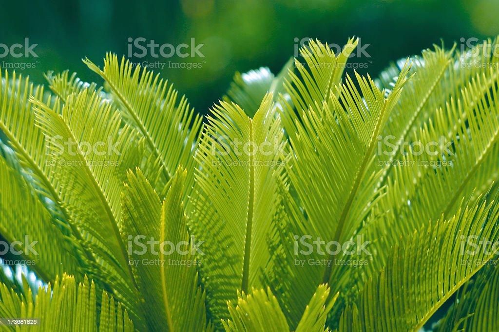 Cycas in Springtime stock photo