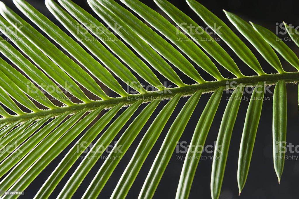 Cycas palm leaf stock photo