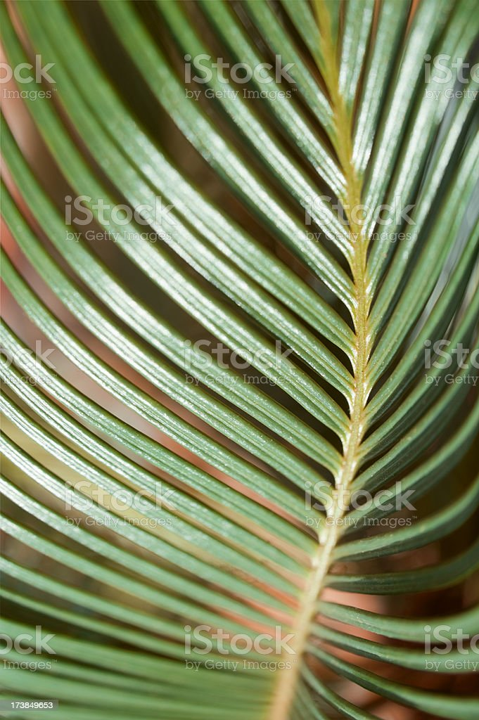 Cycas Palm stock photo