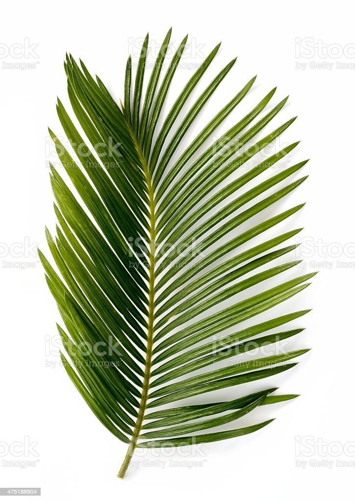 Cycas palm tree leaf isolated stock photo