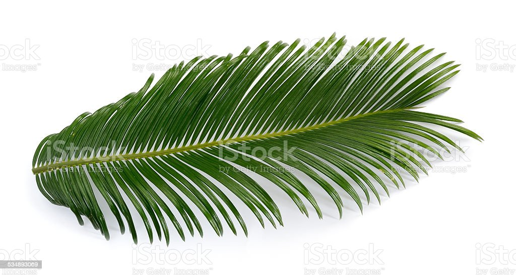 Cycas palm tree leaf stock photo