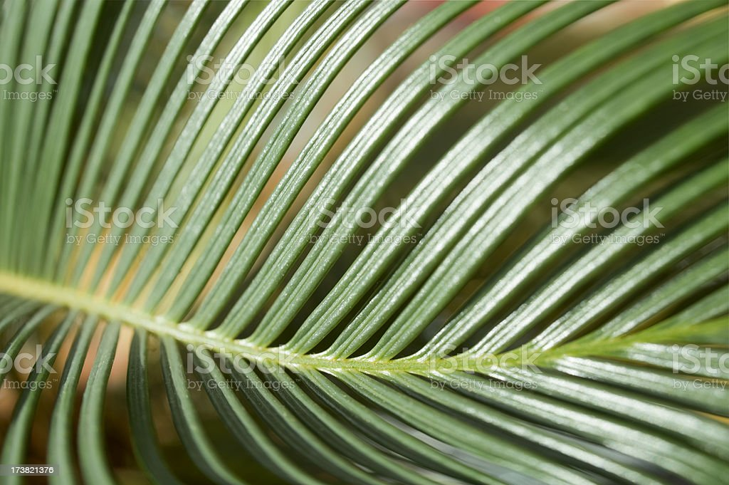 Cycas Palmfarn stock photo