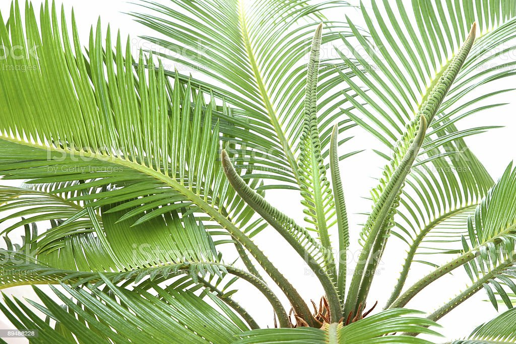 Cycas royalty-free stock photo