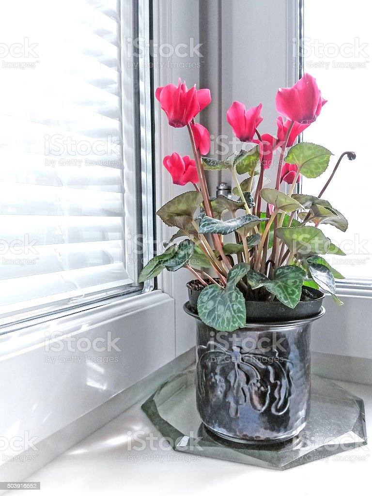 Cyclamen at the window stock photo
