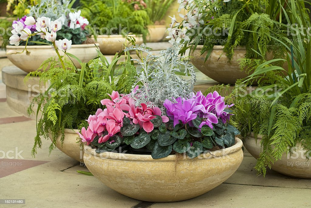 Cyclamen, ferns and orchids in earthenware pots stock photo
