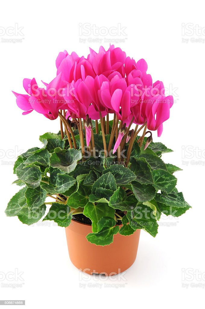 Cyclamen flowerpot on white isolated background stock photo