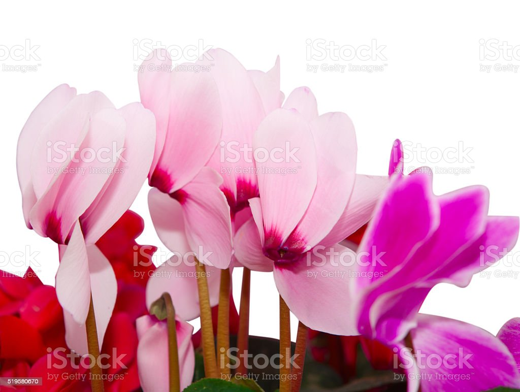 Cyclamen flowers isolated stock photo