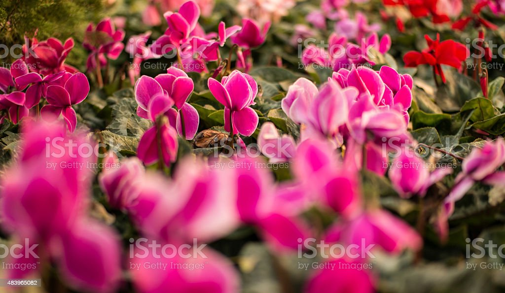 Cyclamen flowers stock photo