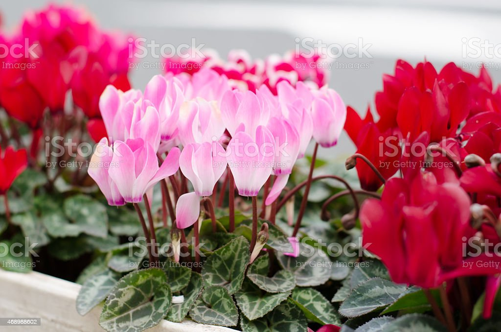 Cyclamen hederifolium  blooming in pot, Japan stock photo