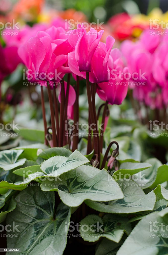 Cyclamen hederifolium stock photo