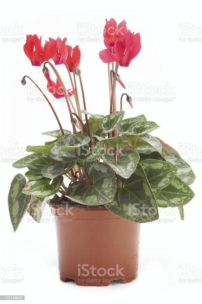 Cyclamen in flowerpot royalty-free stock photo