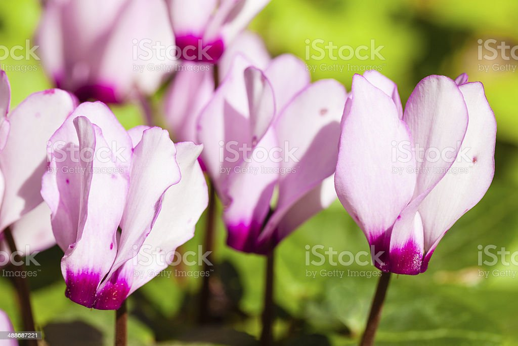 Cyclamen persicum stirling stock photo
