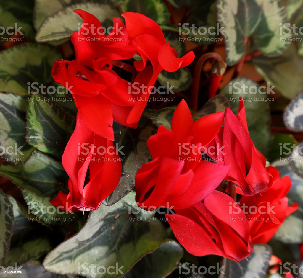 Cyclamen stock photo