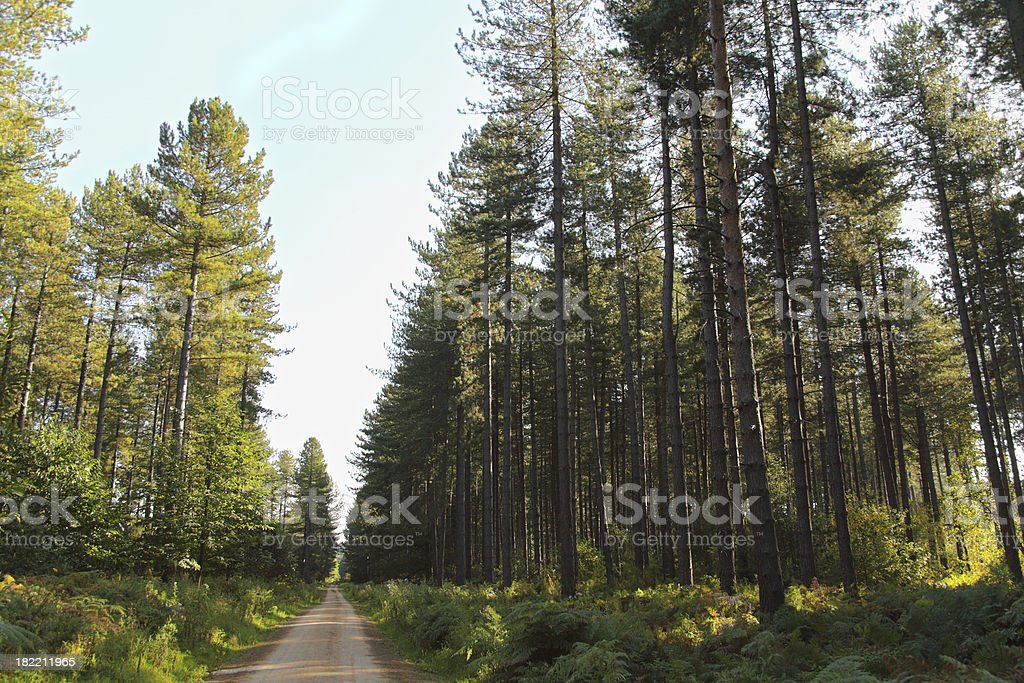 Cycling path through pine forest stock photo