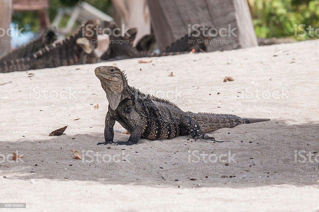 Cyclura nubila, Cuban rock iguana, Cuban ground iguana stock photo