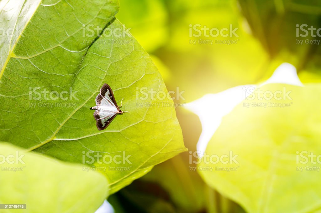 Cydalima Perspectalis or Pyrale du Buis or boxwood butterfly insect stock photo