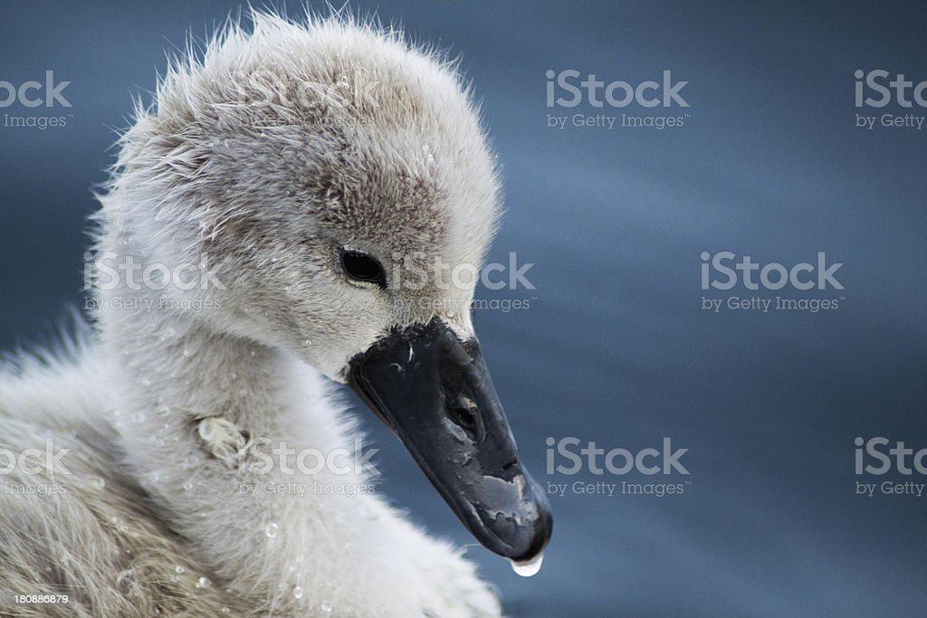 Cygnet Close up in Poole Park. Young Swan, water royalty-free stock photo