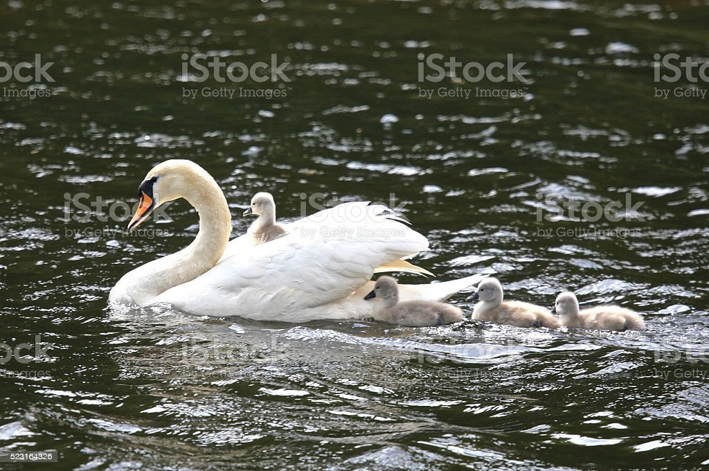 Cygnet Hitching a Ride stock photo