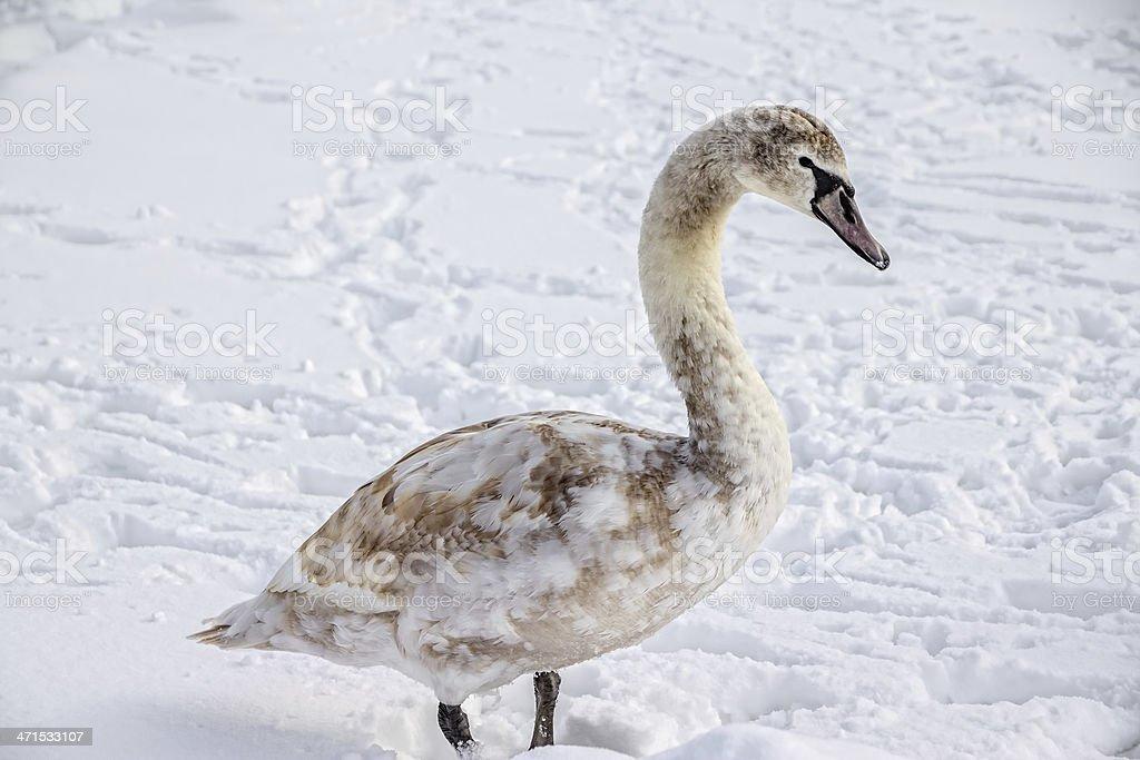 Cygnet, Mute Swan, Zagreb, Jarun lake stock photo