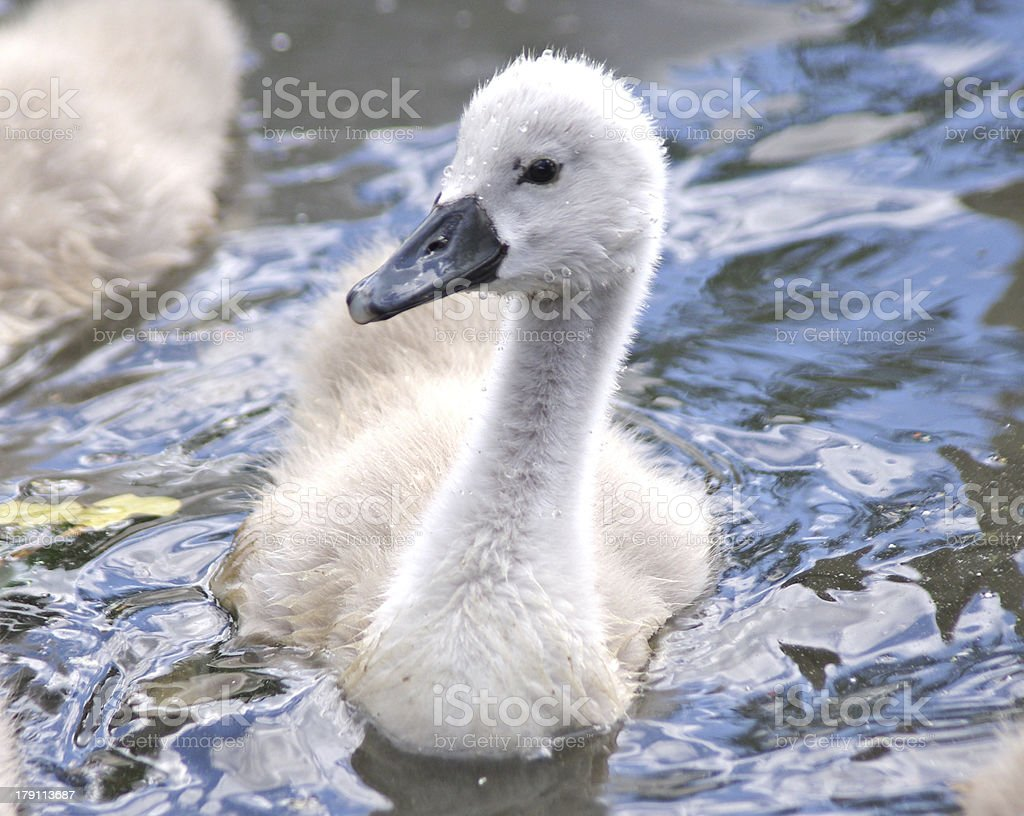 Cygnet royalty-free stock photo