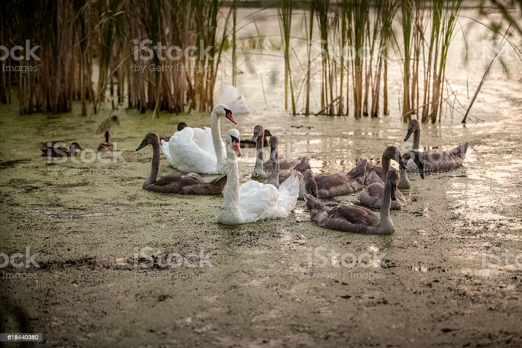 cygnets with parents swimming in pond stock photo