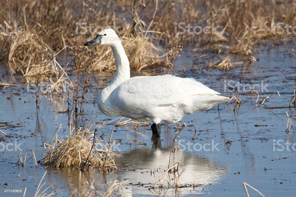 Cygnus Colubianus, tundra swan, standing in a watermeadow stock photo