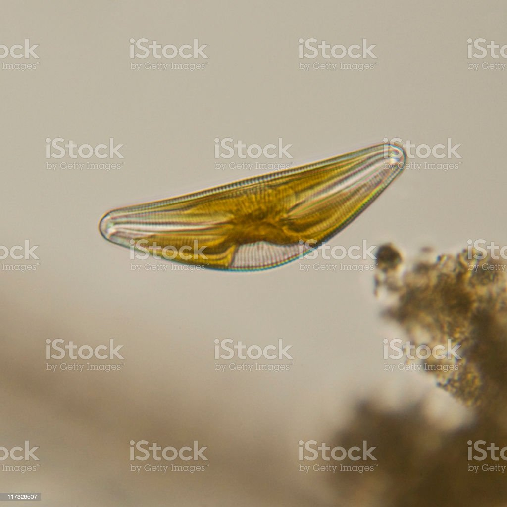 Cymbella diatom micrograph stock photo
