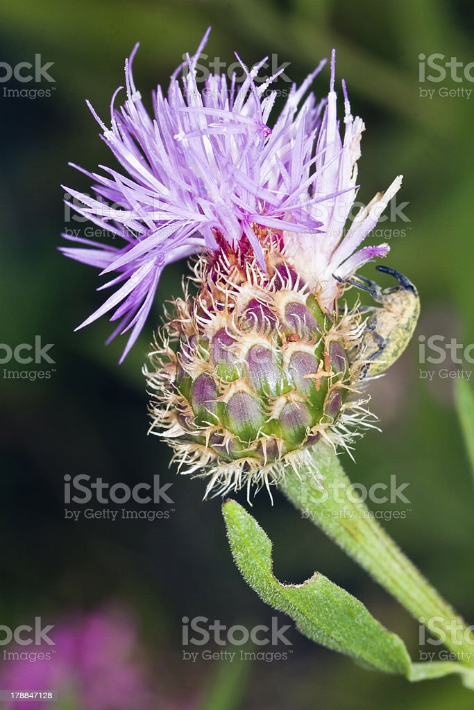 Cynara algarbiensis flower royalty-free stock photo