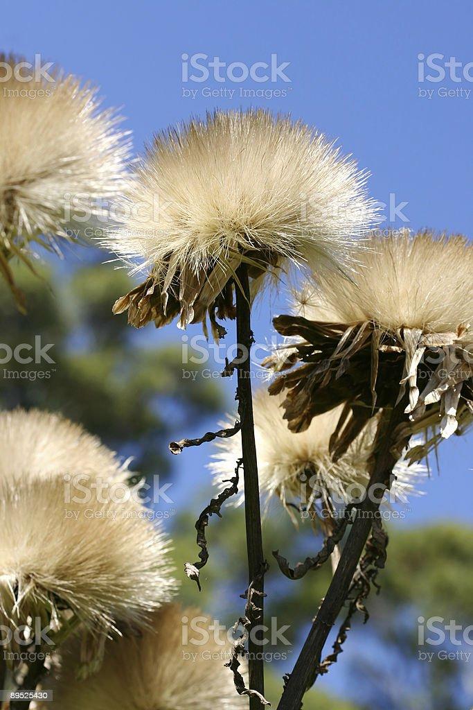 Cynara cardunculus L - artichoke thistle royalty-free stock photo