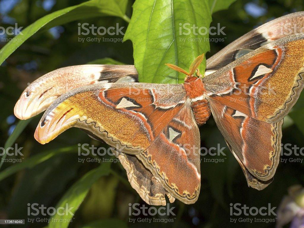 Cynthia Moth stock photo