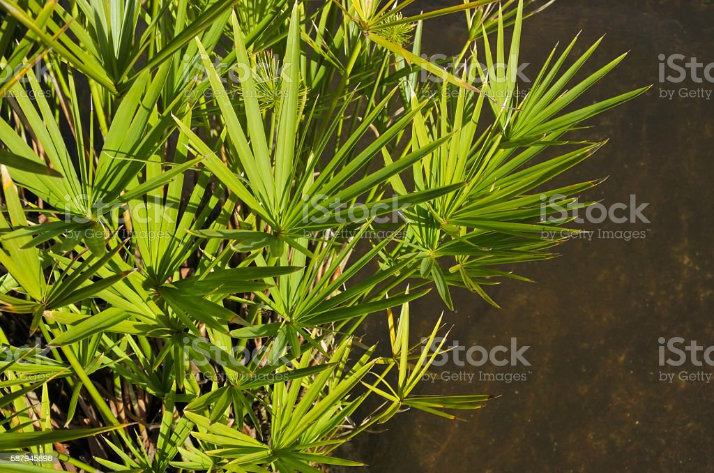 Cyperus involucratus water plant stock photo